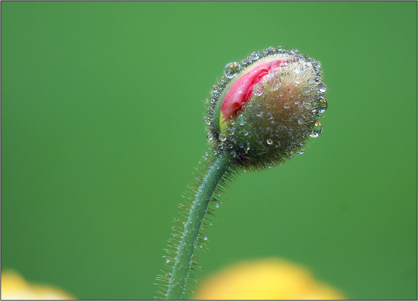 Pink poppy in the yellow family