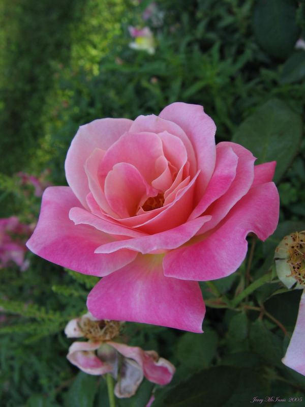 Pink Rose Saturday Morning