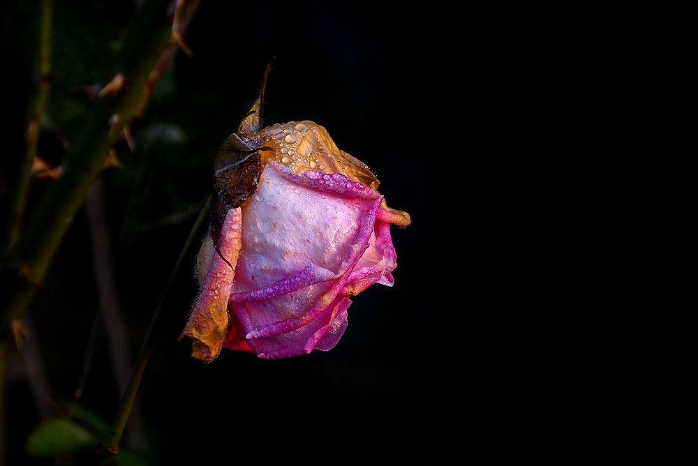 Pink rosei of November