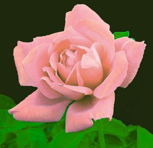 Pink Velvet Rose