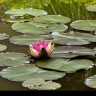 Pink water lily in a green pond