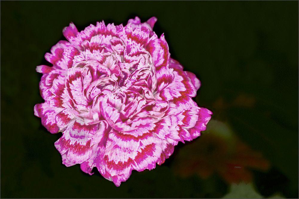Pink-white Carnation