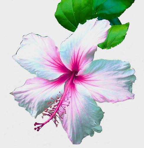 Pink/Blue Hibiscus