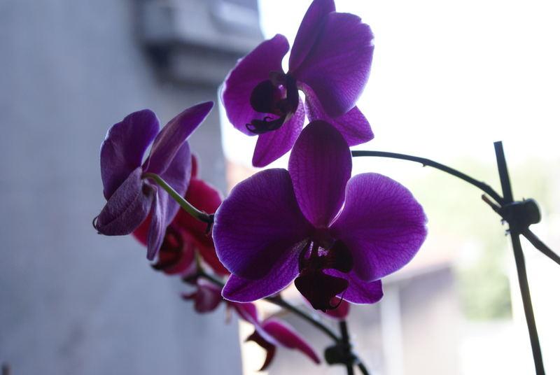 Pinke Orchidee im Gegenlicht