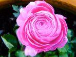 Pinke Rose *