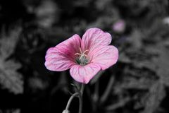 pinkes Mittwochsblümchen als Zeichen gegen Mobbing