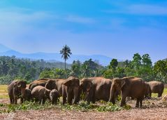 Pinnawela Elefantenwaisenhaus