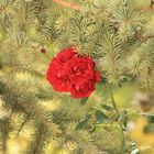 pino con aroma a rosa
