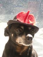 Pinscher mit Hut