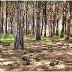 Pinus pinea oder ohne Titel