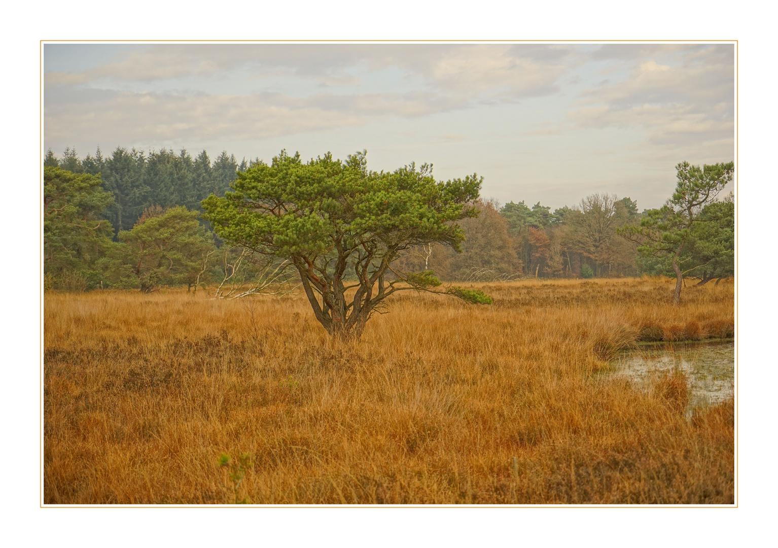-Pinus sylvestris-