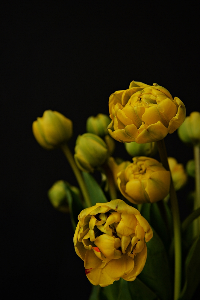 Pioen Tulips
