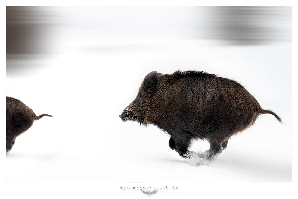 Pistensau im Schweinsgalopp