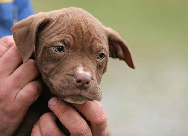 pitbulls brauchen hilfe !!!