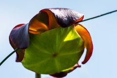 Pitcher Plant   ( eine fleischfressende Pflanze)  DSC_2711-2