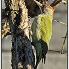 Pito real (Picus viridis) I