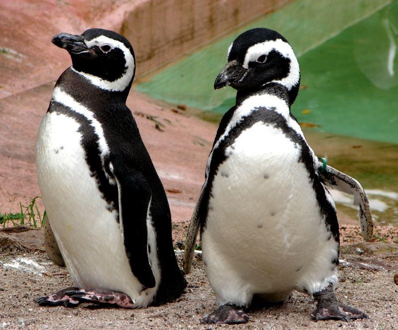 Pitsch Patsch Pinguin