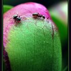 pivoine et fourmies