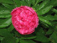 ..Pivoine sous la pluie...