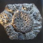 placa ósea de gliptodonte, extinguidos hace aprox. 10000 a ......escala en cm