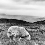 Plain of Lostness   --   Highland Sheep ©D5243_BW-p-05_3#1