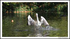 Planschender Pelikan I - Ein Ausschnitt