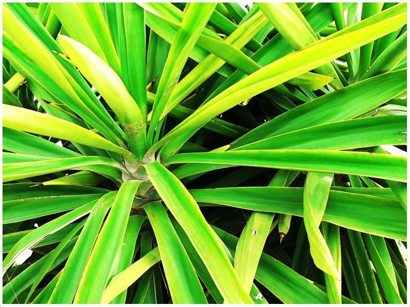 planta --