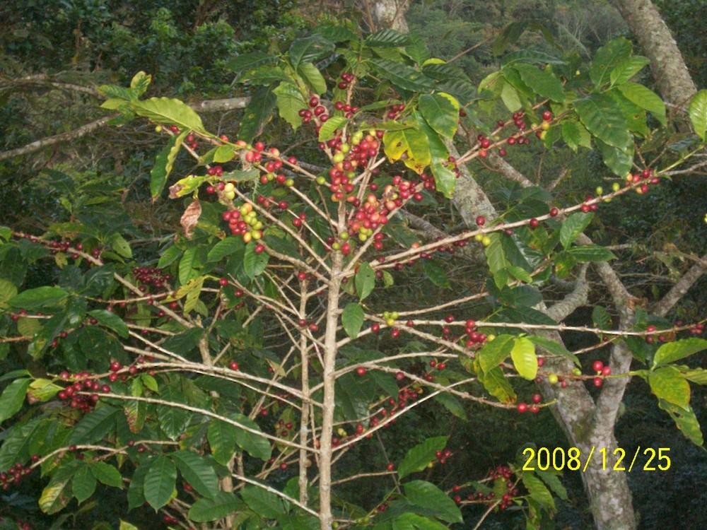 planta del café imagen foto paisajes naturaleza fotos de