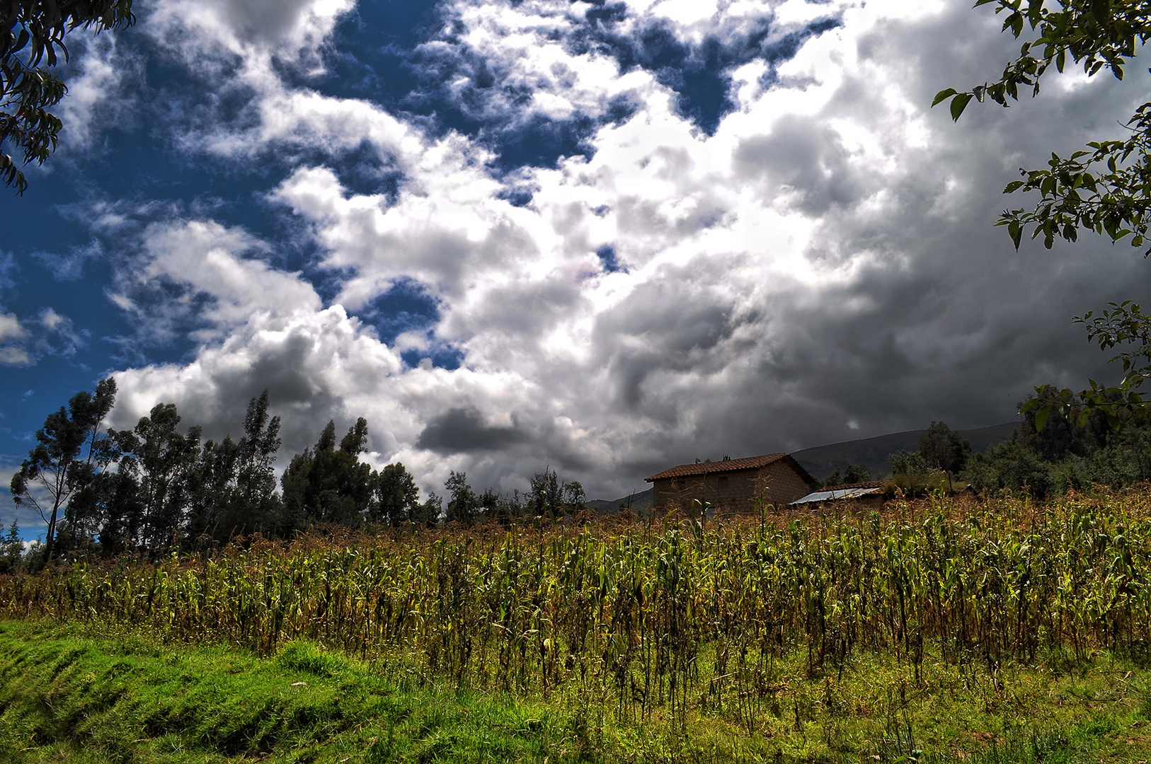 plantación de maíz ayacuchano