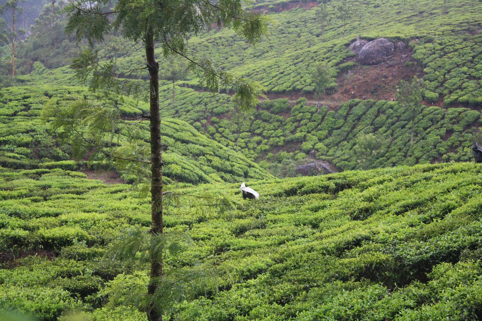 Plantations de thé à Munnar