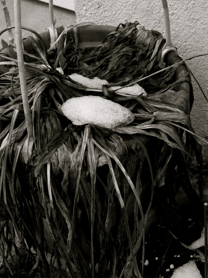 Plante morte & reste de neige