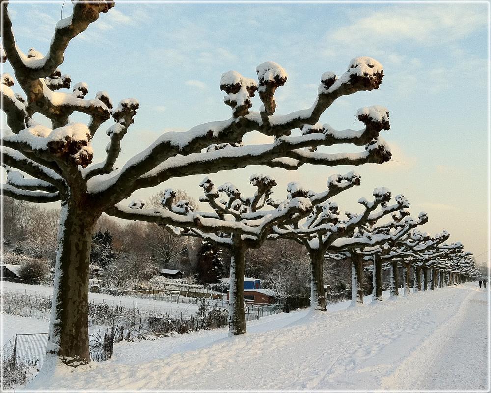 platanen im schnee foto bild jahreszeiten winter. Black Bedroom Furniture Sets. Home Design Ideas