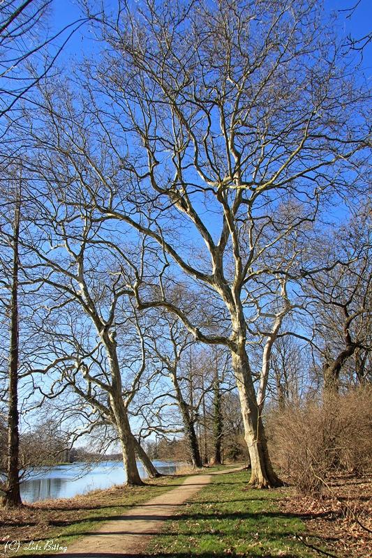 Platanen im Wörlitzer Park