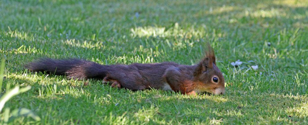 Platt-Hörnchen