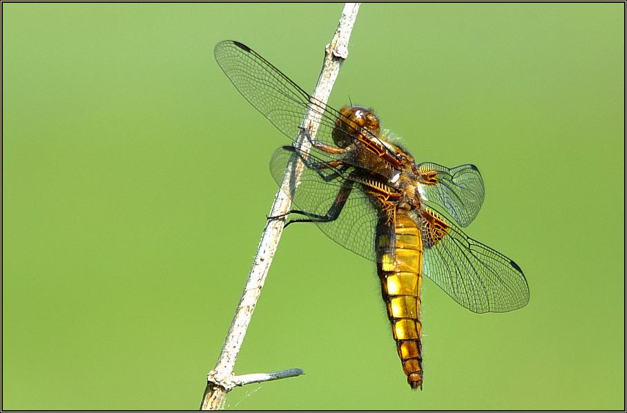 Plattbauch-Libelle (1)