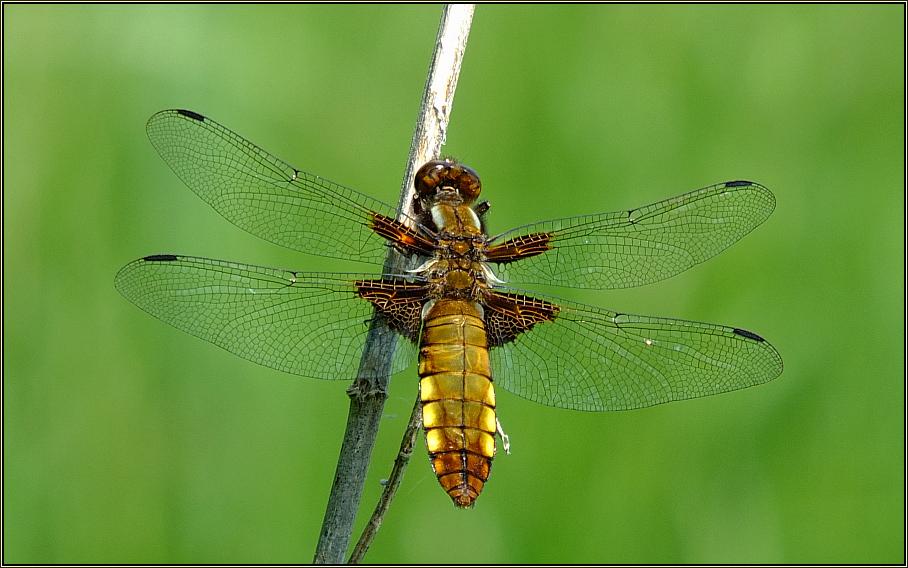 Plattbauch-Libelle (2)