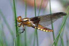 Plattbauch-Libelle...