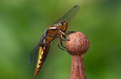 - Plattbauch Libelle -