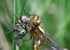 Plattbauch-Libelle, frisch geschlüpft...