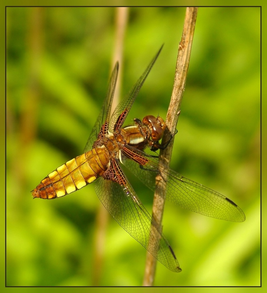 Plattbauch-Libelle (Libellula depressa)