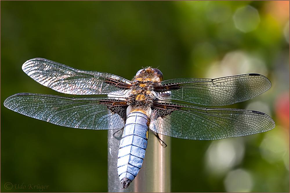 Plattbauch (Libellula depressa)