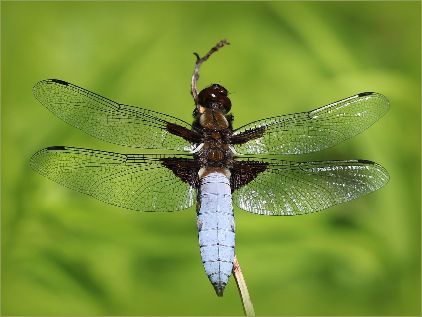 Plattbauch (Libellula depressa) - Männchen.