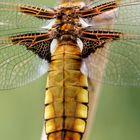 Plattbauchflügel