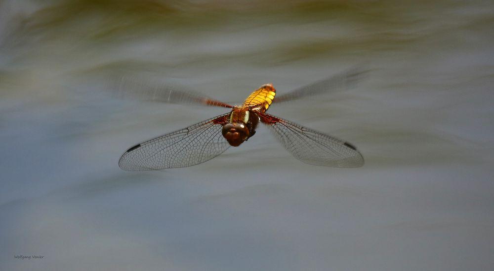 Plattbauchlibelle