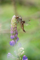 plattbauch.libelle ii