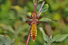 Plattbauchlibelle  junges Weibchen
