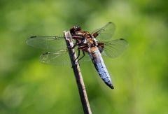 Plattbauchlibelle Männchen
