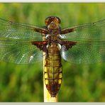 Plattbauchlibelle (Segellibelle)