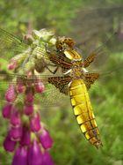 Plattbauchlibelle, Weibchen