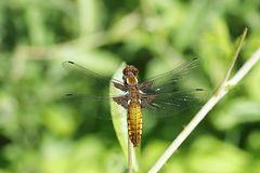 Plattbauchlibelle - Weibchen